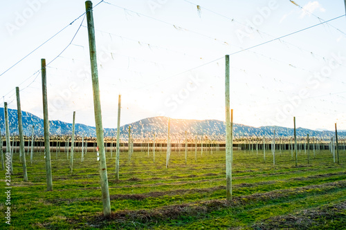 Foto op Aluminium Wit A landscape of hops farm at sunset. Motueka, New Zealand.