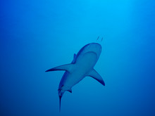 Low Angle View Of Shark Swimming Undersea