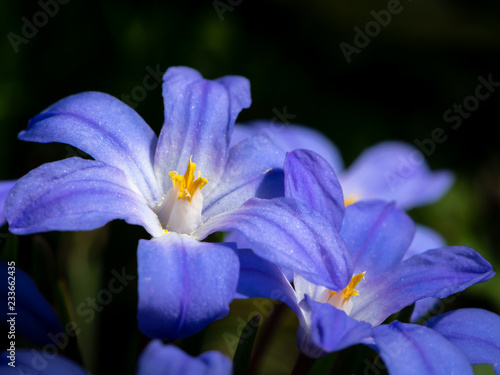Some Glory-of-the-snow flowers (Chionodoxa luciliae) in spring Wallpaper Mural