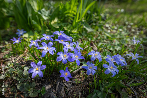 Photo  Some Glory-of-the-snow flowers (Chionodoxa luciliae) in spring