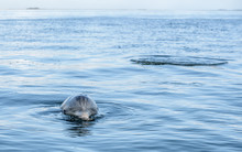 Wild Atlantic Bottlenose Dolph...