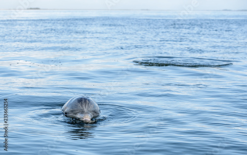 Slika na platnu Wild Atlantic Bottlenose Dolphin Tursiops Truncatus Sticking His Head Out of the