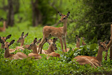 Fawns On Grassy Field At Forest