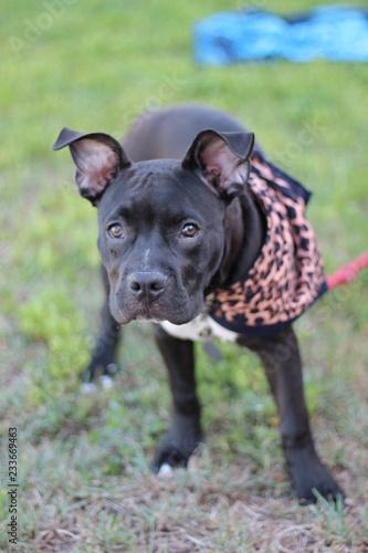 Adorable Black Big Puppy Dog Pit Bull Mastiff Buy This Stock