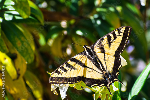 Fotomural Close up of Western Tiger Swallowtail (Papilio rutulus) resting on a flower, San