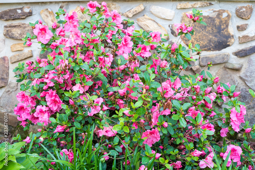 Pink Flowers against a Rock Wall - Country - Spring