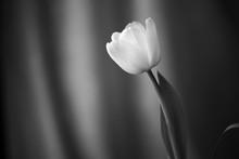 Beautiful Tulip Lit With Dayli...