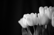 Bouquet Of Tulips Lit With Daylight Close Up. Black And White