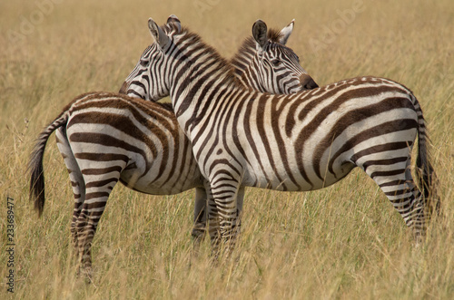Tuinposter Zebra Zebra pair standing shoulder to shoulder