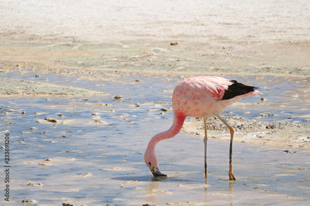 Pink Flamingo Looking for Food in the Shallow Water of Laguna Hedionda, the Saline Lake in Andean Altiplano, Potosi, Bolivia