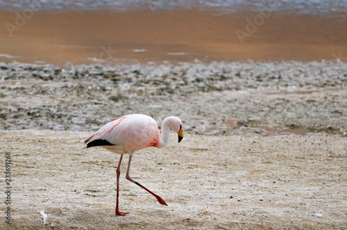James's Flamingo Walking on the Shore of Laguna Hedionda, the Saline Lake on Andean Altiplano, Potosi, Bolivia, South America