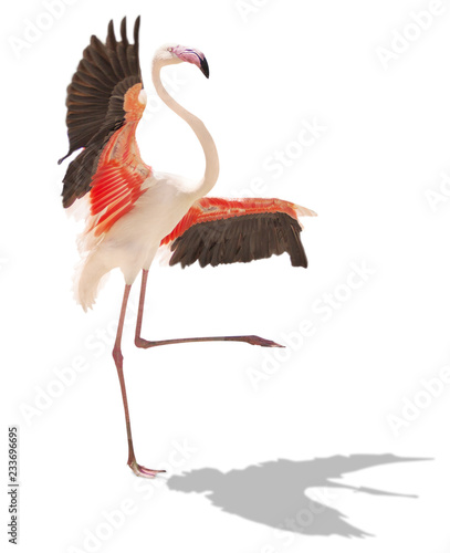 Garden Poster Flamingo beautiful pink flamingo posing. isolated on white background