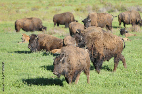 Poster Bison bisons in Yellowstone national park
