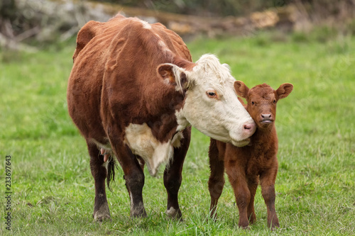 Photo Stands Cow Momma Cow and Calf Sharing a Nuzzle