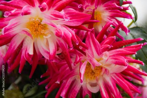 濃いピンク色のダリア