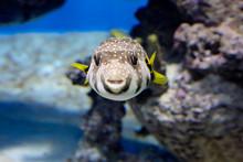 Starry Blowfish (puffer Fish)....