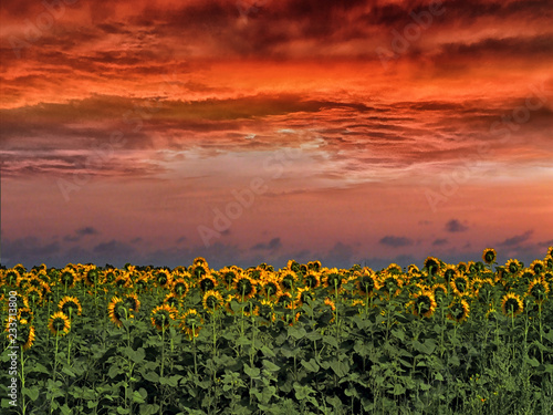 Montage in der Fensternische Sonnenblume Sunset over the field Sunflowers