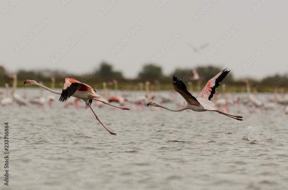 Flamant rose,.Phoenicopterus roseus, Greater Flamingo