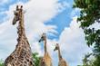 African giraffe in Chobe National Park, Botswana