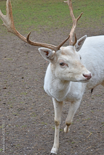 Fotografie, Obraz  white deer with antlers in public park during autumn season.