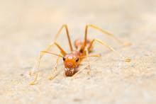 Macro Ants Oecophylla Smaragdina