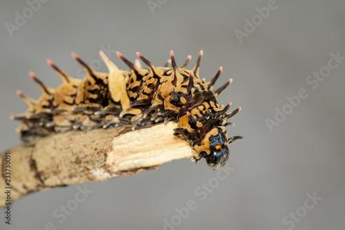 Photo Image of golden birdwing caterpillar on the tree branch
