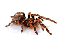 Vogelspinne (Acanthoscurria Co...