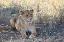 Lioness Laying On The Grass In...