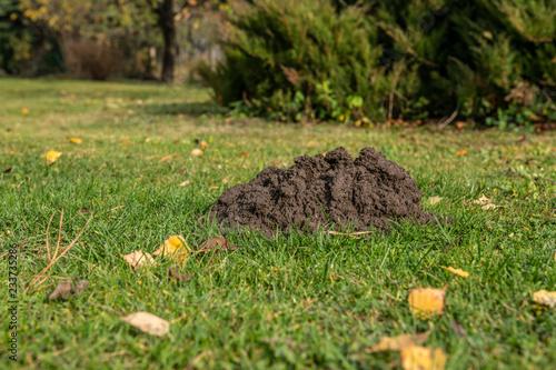 Fotografie, Obraz  kopiec kreta znaleziony o poranku na trawniku w przydomowym ogrodzie