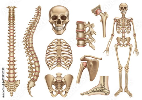 human skeleton structure  skull, spine, rib cage, pelvis, joints  anatomy  and medicine, 3d vector icon set