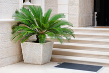 Pot With Large Green Palm Tree Stands At Entrance To A Private Hotel. Palm Tree In Beige Container. Cycas Revoluta. Design Of Exterior Of Building.