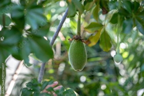 Fototapeta 樹上のバオバブの実