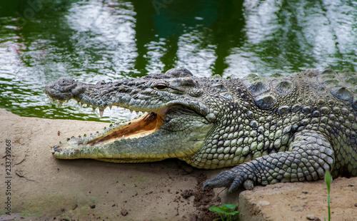 Fotobehang Krokodil Side view crocodile resting near water with open mouth.