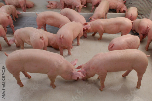 Photo  Curious pigs in Pig Breeding farm in swine business in tidy and clean indoor hou