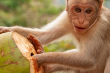 Macaque With His Coconut