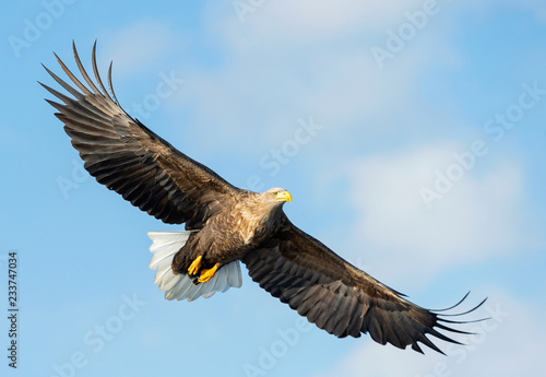 Garden Poster Eagle Adult White-tailed eagle in flight. Blue sky background. Scientific name: Haliaeetus albicilla, also known as the ern, erne, gray eagle, Eurasian sea eagle and white-tailed sea-eagle.
