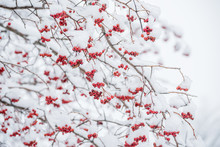 Twigs Of A Tree With Red Berries In The Snow.