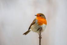 Robin On A Branch, Slightly Tu...