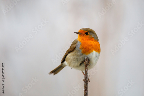 Fototapeta robin on a branch, slightly turned white by the frost in the Netherlands