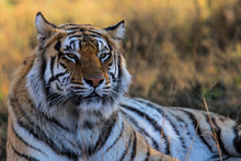 Portrait Of A Male Tiger - Tiger Canyons Game Reserve - South Africa