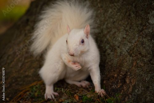 Fotografie, Obraz  White squirrel in the woods