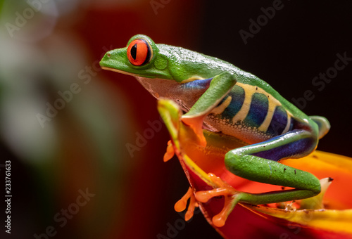 Canvas Print Red-eyed Tree Frog
