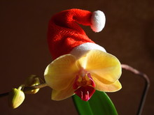 New Year. The Christmas Orchid...