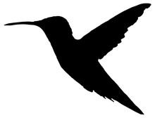 Black And White Hummingbird Bird Silhouette In Flight Isolated On White Background.
