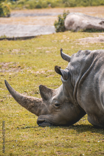 Rhinoceros lying in the grass