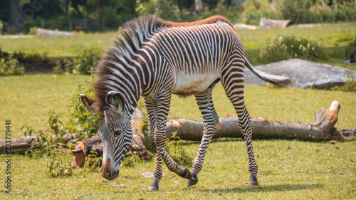 Tuinposter Zebra Young Zebra with head down