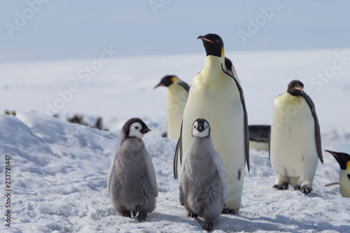 Canvas Print Emperor penguin chicks in antarctica