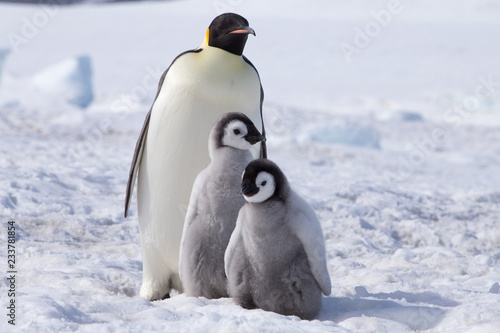 Fotografía Emperor penguin chicks in antarctica