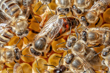Bee Queen Surrounded By Young ...