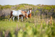 A Pair Of Wild Pinto Ponies Fo...